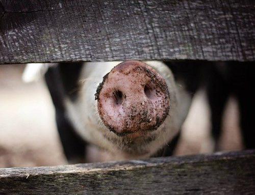 Afrikanische Schweinepest: Die aktuellen Fälle