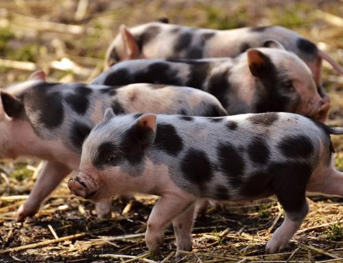 Initiative Tierwohl: Das ändert sich für Schweinehalter