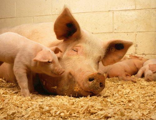 Klare Antworten zur Schweinehaltung