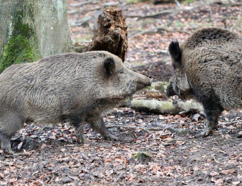Afrikanische Schweinepest (ASP): Was können wir jetzt erwarten?