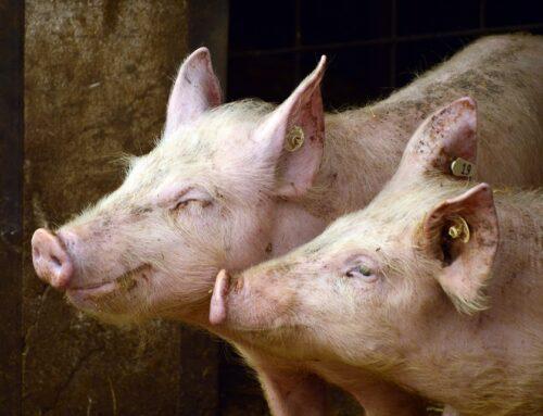 QS: Salmonellenrisiko in Schweinemast gesunken